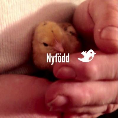 Vi har fått kycklingar